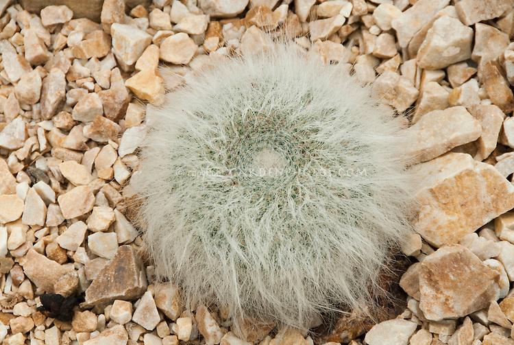 Mammillaria hahniana (Old Lady Cactus)