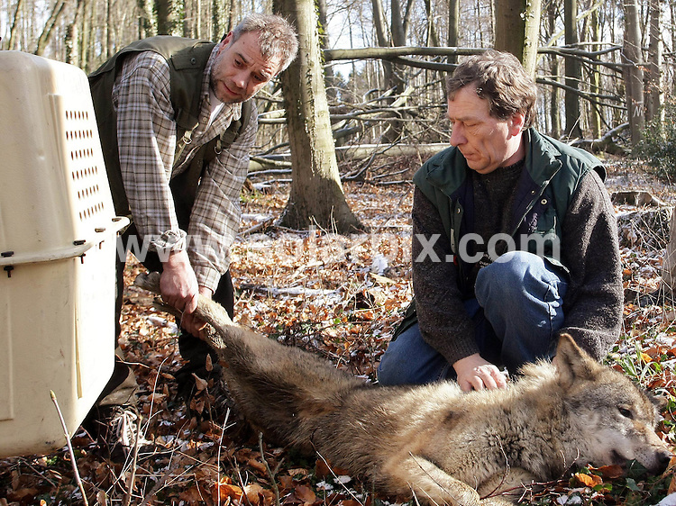 **ALL ROUND PICTURES FROM SOLARPIX.COM**.**SYNDICATION RIGHTS FOR UK AND SPAIN ONLY**.A wolf escaped from the Zoo  in the town of Osnabrueck in Germany. He was re-captured one day later...JOB REF: 5885       CPR        DATE:05.03.08.**MUST CREDIT SOLARPIX.COM OR DOUBLE FEE WILL BE CHARGED* *UNDER NO CIRCUMSTANCES IS THIS IMAGE TO BE REPRODUCED FOR ANY ONLINE EDITION WITHOUT PRIOR PERMISSION*