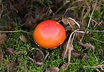 Close up of orange red cap of fly agaric mushroom on heathland, Sutton Heath, Suffolk, England