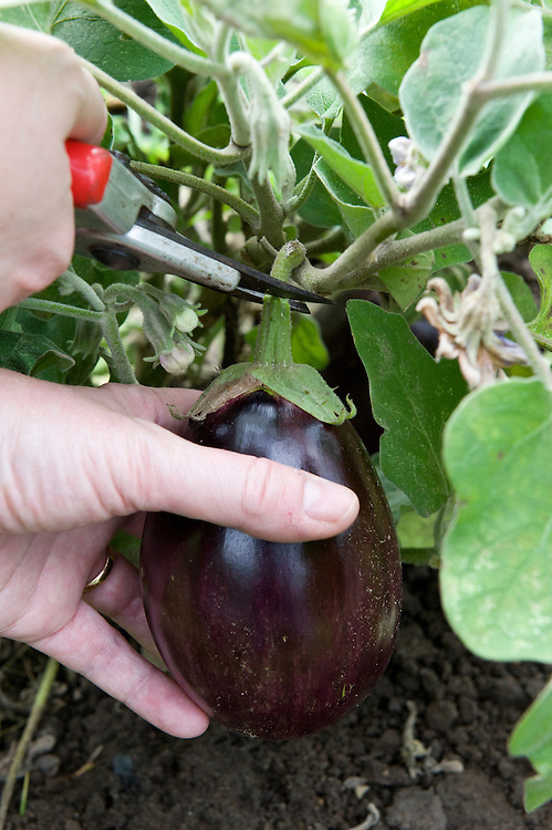 Cut aubergines with a sharp knife or a pair of secateurs. Leave at least 2.5cm (1in) of the stem on the fruit.