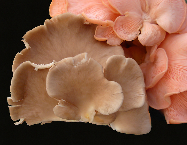 A closeup of two oyster mushrooms where a pink one is overlapping a tan one showing their curvy edges and the difference in their growth patterns on black background. The mushrooms were found in a farmer's market in Troy, New York.