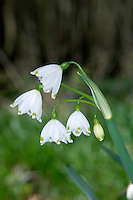 SUMMER SNOWFLAKE Leucojum aestivum (Liliaceae) Height to 60cm. Perennial of damp, deciduous woodland. FLOWERS are 15-20mm long, bell-shaped and mainly white, but with green marks on the 6, pointed segments; nodding, in umbels of 2-5 flowers with a greenish spathe (Apr-Jun). FRUITS are capsules. LEAVES are bright green and strap-like. STATUS-Very local native in S England; naturalised elsewhere.