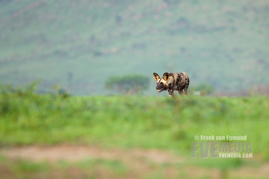 African Wild Dog (Lycaon pictus)..Endangered species..On the horizon...Hluhluwe Imfolozi Game Reserve..Kwazulu-Natal, South Africa..November 2010.