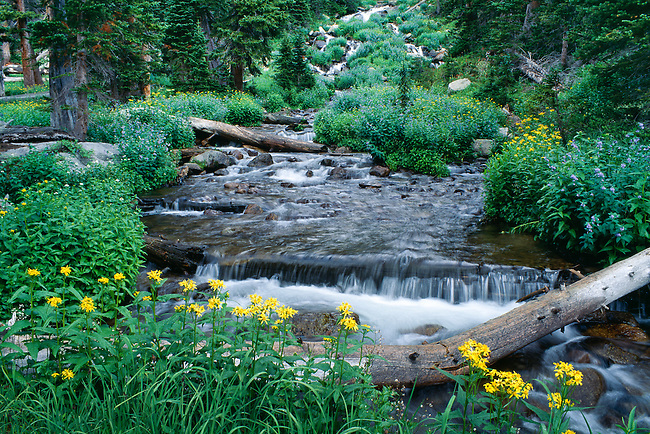 Summer growth of ragwort along a subalpine stream near Thunder Lake, Rocky Mountain National Park, Colorado