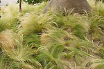 FESCUE GRASS, FESTUCA SP.