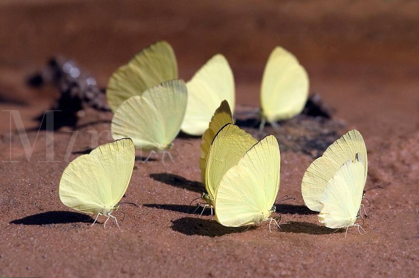 Butterflies in the jungle near Angkor Wat -  Siem Reap, Cambodia....