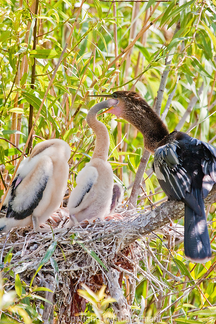 An Anhinga hatchling checks what's for dinner.