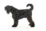 Black Russian Terrier Dog, Standing, Studio, White Background