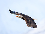 Bald Eagle soaring over the Chilkat River Valley, Alaska