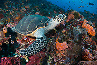 A Hawksbill Turtle, Eretmochelys imbricata, rests on a coral-covered substrate. Komodo Marine National Park, Indonesia, Pacific Ocean