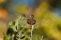 388540004 a wild carolina saddlebags tramea carolina perches on a small plant in southeast regional park austin travis county texas united states
