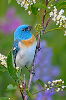 Male Lazuli Bunting (Passerina amoena) perched in wild choke cherry bush--wildflowers lupine and sticky geranium in background.  Western U.S., summer.