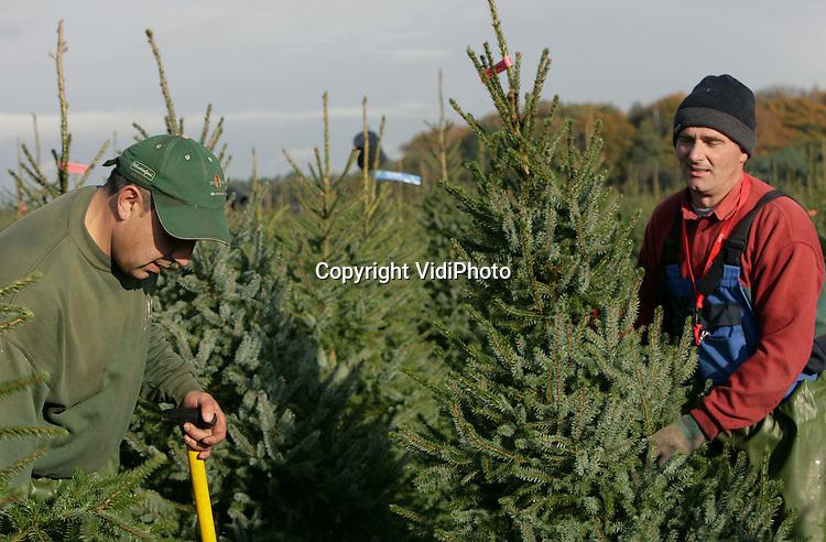 Foto: VidiPhoto..UDDEL - Van Sinterklaas is nog lang geen sprake, laat staan van Kerst. Toch is De Buurte Kwekerijen uit Oene op een perceel in Uddel alvast begonnen met de oogst van kerstbomen. Tot 5 december worden er een kleine 100.000 bomen gerooid voor hoofdzakelijk de binnenlandse markt. Toch neemt ook de vraag vanuit het buitenland toe, met name vanuit het voormalige Oost-Europa.