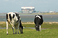 Cows grazing near Heysham. Coast. View.