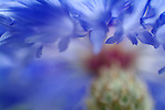 close-up of a cornflower