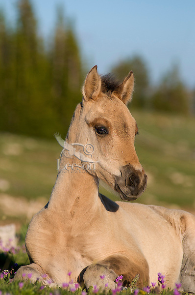 Wild Horse or feral horse (Equus ferus caballus) colt resting among shooting star wildflowers.  Western U.S., summer.
