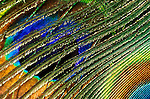 Macro image of a feather from an Indian Peafowl, Blue Peafowl (Pavo cristatus), a large and brightly colored bird of the pheasant family native to South Asia.