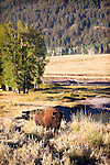 Bison in the early morning sun in the Lamar Valley in Yellowstone National Park.