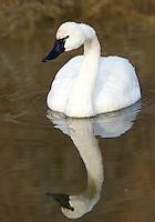 Swans - Tundra