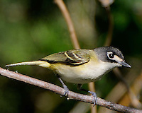 Black-capped Vireo, Passeriformes Order, taken near Killeen, TX