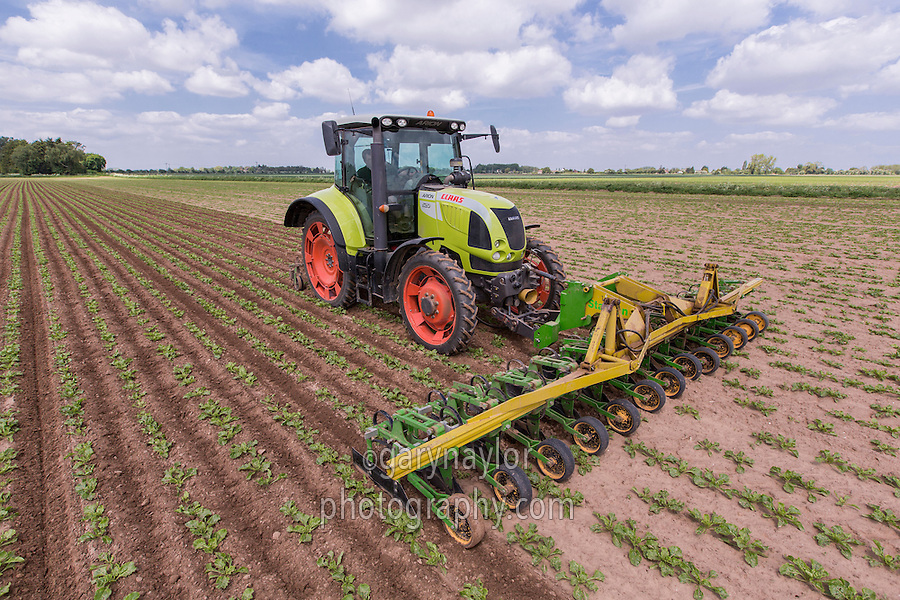 Hoeing sugar beet with a twelve row beet hoe - Lincolnshire, May