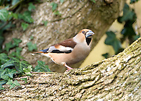 Hawfinch Coccothraustes coccothraustes L 17-18cm. Giant among finches. Massive, conical bill is used to crack Hornbeam and Cherry seeds. Sexes are separable. Adult male has mainly pinkish buff plumage with grey on neck and brown on back. Note broad whitish wingbar, blue-black flight feathers, and broad white tip to tail. Adult female is similar but duller. Juvenile is similar to adult female but plumage patterns are less distinct. Voice Utters a sharp, Robin-like tsic call. Quiet song is seldom heard. Status Local and rather scarce in mature deciduous woodland, orchards and large gardens.