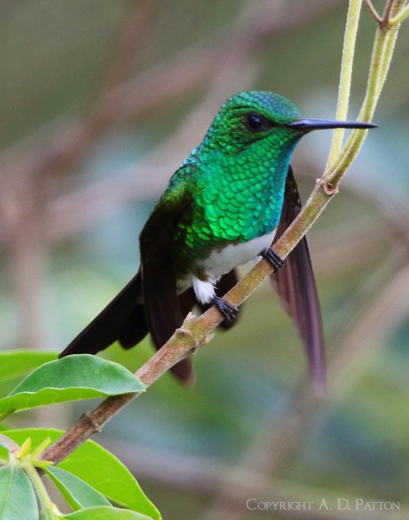 Snowy-bellied hummingbird
