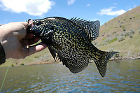 Black Crappie. Brownlee Reservoir on the Snake River above Hell's Canyon is considred Idaho's best fishing impoundment.  Crappie, bass, catfish, and trout are available in this popular impoundment bordered by Oregon and Idaho.