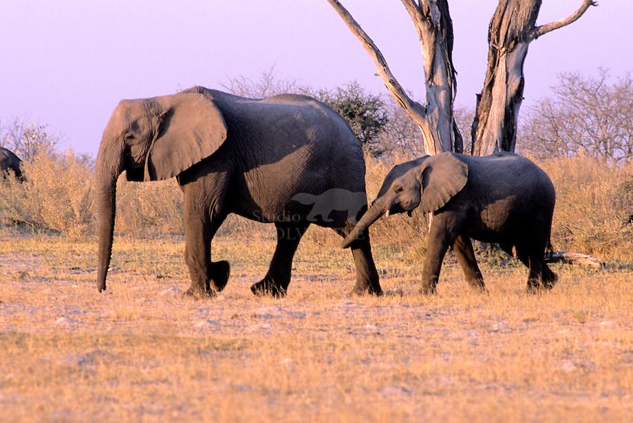 Olifant (Loxodonta africana), moeder met jong
