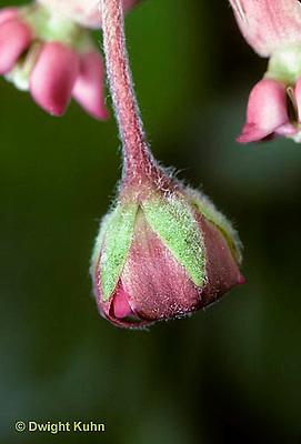 MK19-004b  Milkweed - flower opening - Asclepias syriaca