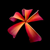 wilting pinkish red and yellow plumeria flower on black background.<br />