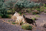 White and gray jackasses along the highway pointing the way in central Nevada.