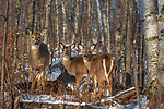White-tailed doe and fawns deep within the winter forest (a doe is bedded behind them).