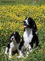0730-0823  Puppy and Adult English Springer Spaniels, Canis lupus familiaris © David Kuhn/Dwight Kuhn Photography.
