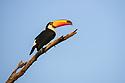 Toco toucan (Ramphastos toco) (Family Ramphastidae). Pousada Aguape, southern Pantanal, Mato Grosso do Sul, Brazil.