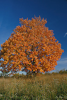 Sugar maple tree, Acer saccharum, in fall
