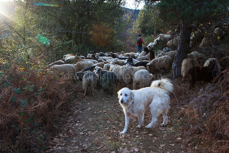 A sheepdog at work in the Pyrénées-Orientales, France.