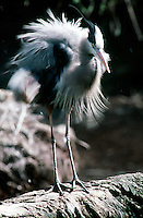 WETLAND BIRDS<br /> Great Blue Heron<br /> (Ardea herodias)