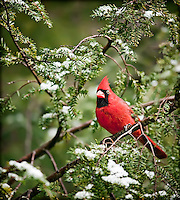 Bright Red Male Cardinal perched in a hemlock tree in  snow