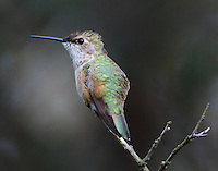 Immature rufous hummingbird in late November