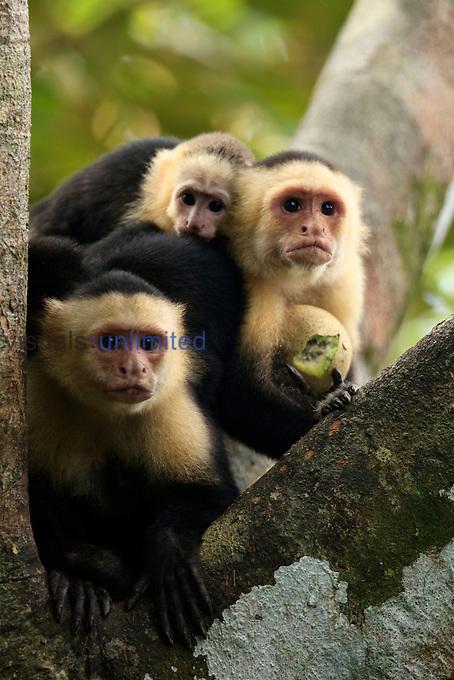 White-faced Capuchin Monkey family (Cebus capucinus), Costa Rica