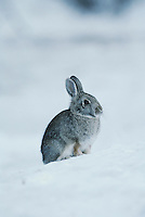Mountain Cottontail (Sylvilagus nuttalii), adult in snow, Rocky Mountain National Park, Colorado, USA