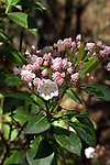 The mountain laurel blossoms are very showy.  The buds look like gum drops and the flowers are a brilliant white.