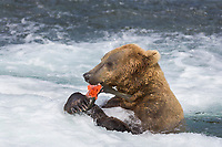 Brown bear feeding on red salmon, Brooks River, Katmai National Park, Alaska