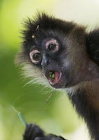 This seemed to be the trip for catching spider monkeys with their mouths open!