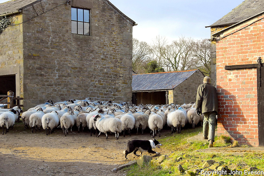 John Alp moving sheep at Dinkling Green farm.