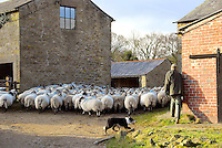 John Alp moving sheep at Dinkling Green farm.