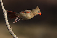 Northern Cardinal female jumping off..<br />