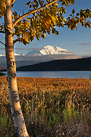 Evening light falls on the North face summit of Denali, North America's tallest mountain. Balsam poplar tree and Wonder lake in the foreground, Denali National Park, interior, Alaska.