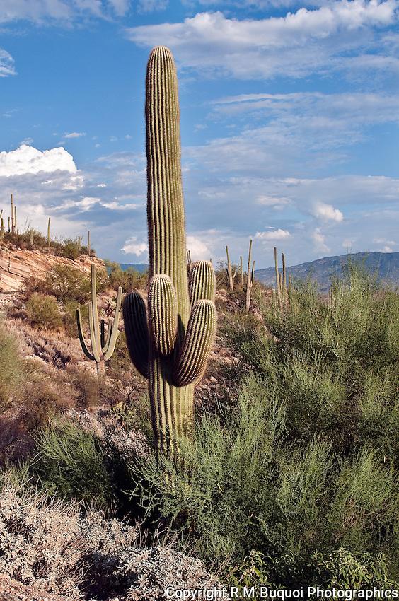 Saguaro Cacti near Tucson
